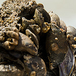 Hooked mussel photo