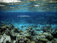 Atlantic needlefish photo