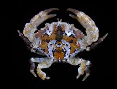 Xanthid crabs photo