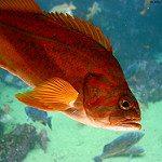 Yelloweye rockfish photo