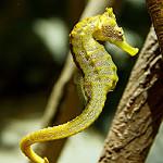 Pacific seahorse  photo