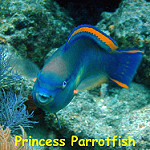 Princess parrotfish  photo