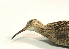 Eskimo curlew photo