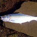 Skipjack herring  photo