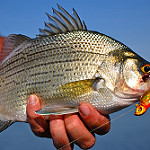 White bass fi photo