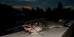 Hardhead catfish photo