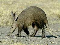 aadvark